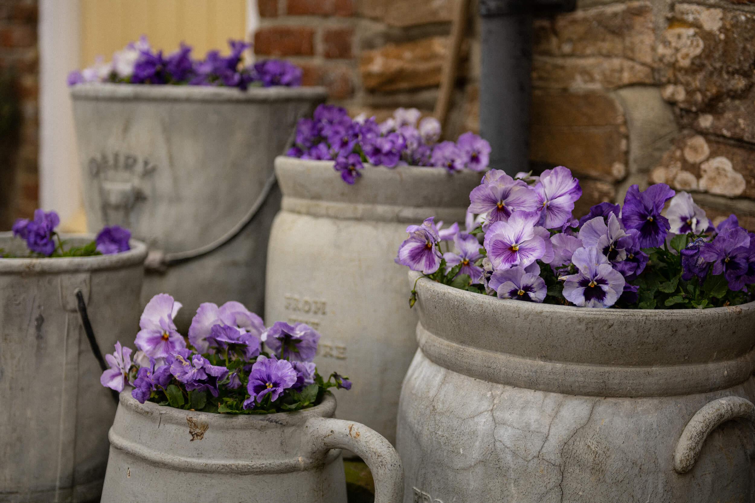 Flowers in old milk urns