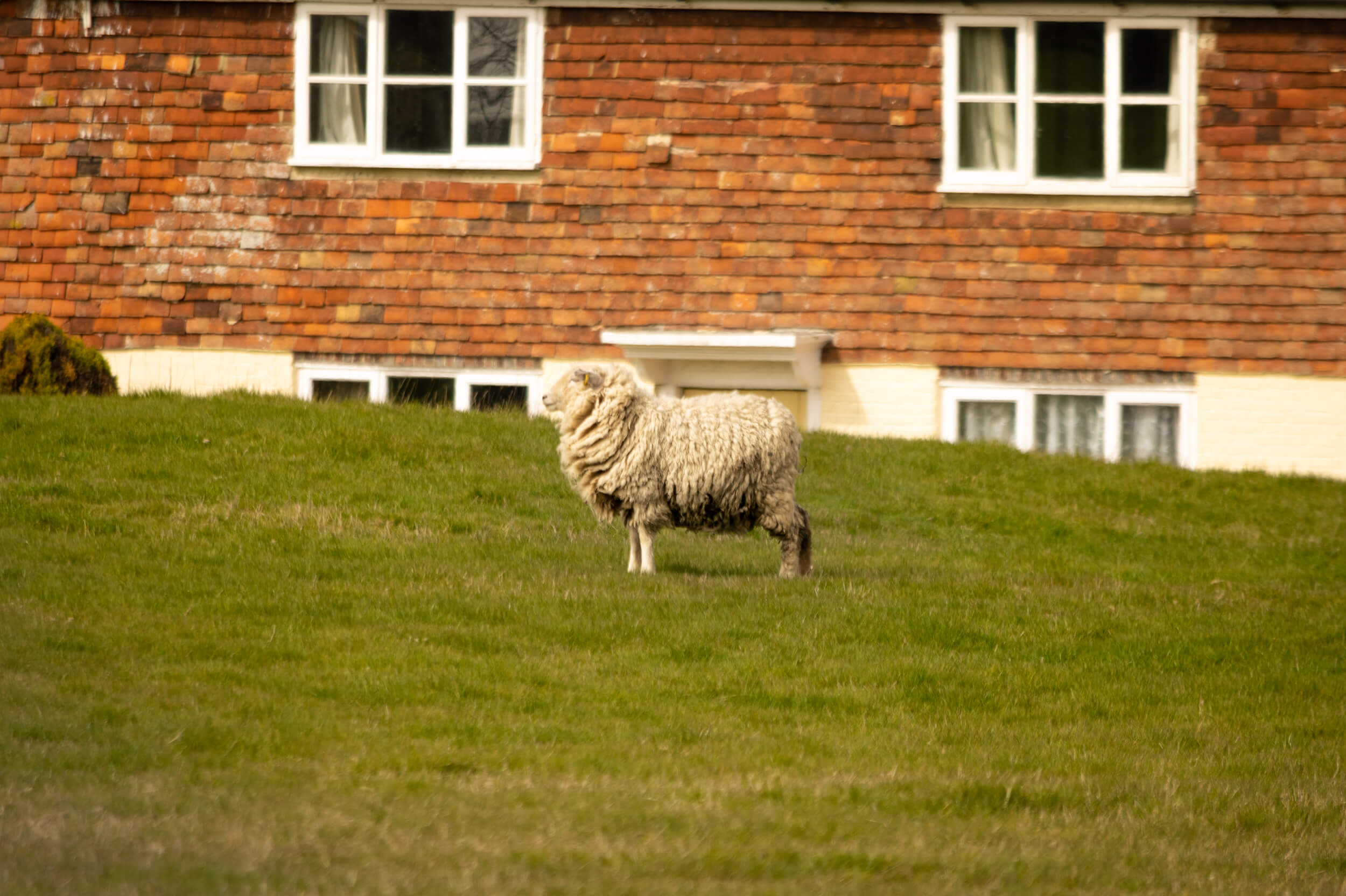 a lone sheep in front of the cottage