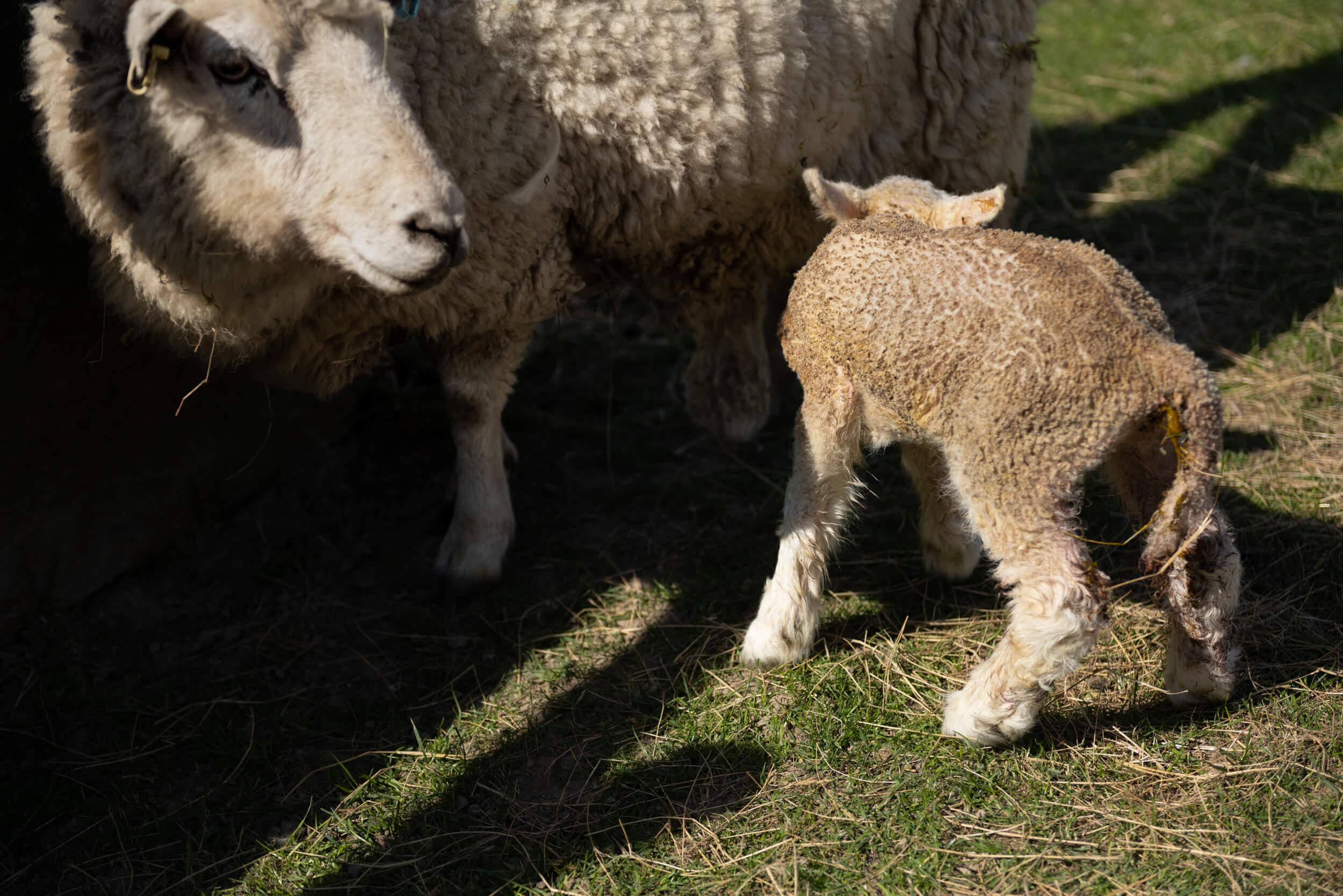 A sheep and a lamb