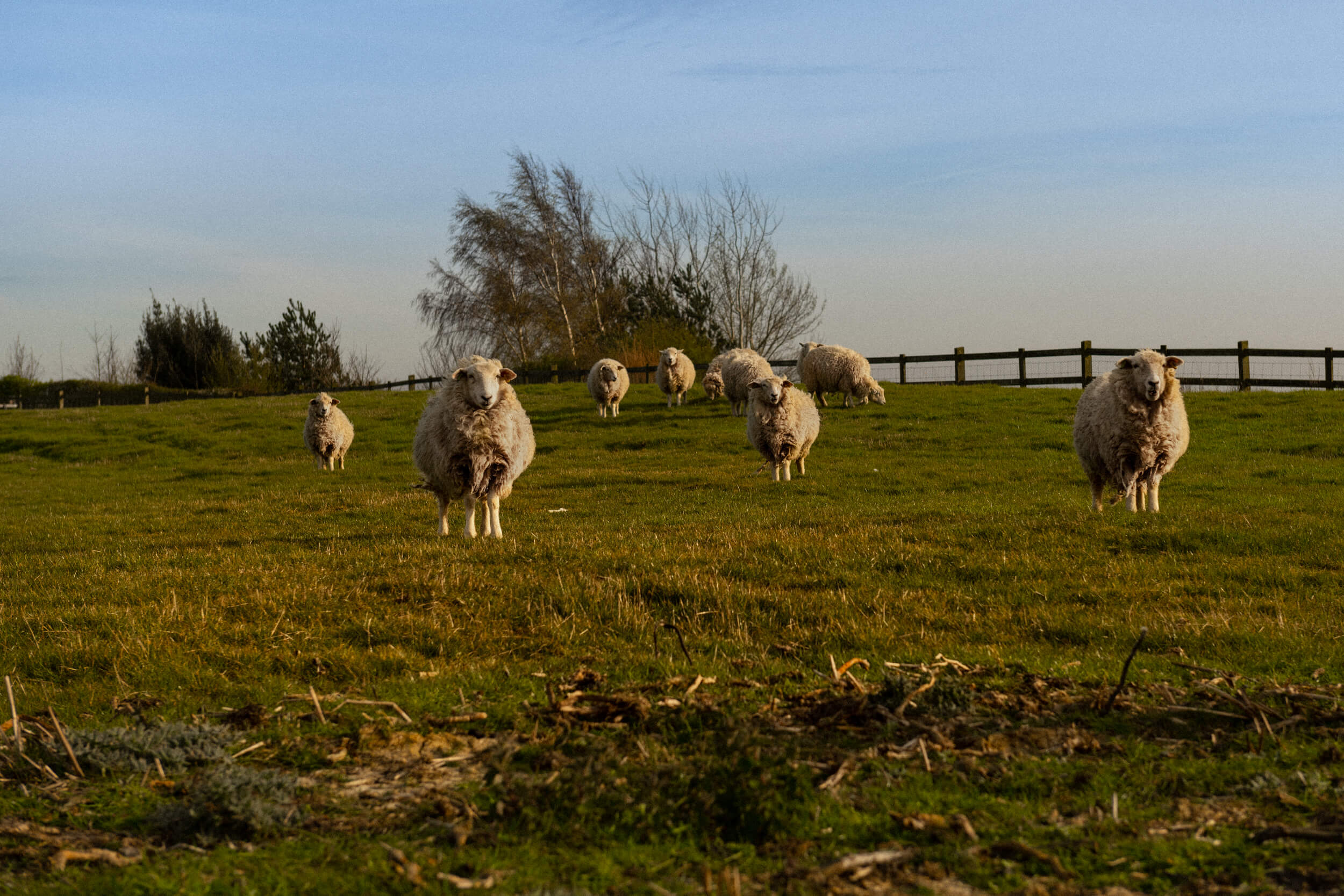 Sheep on the fields