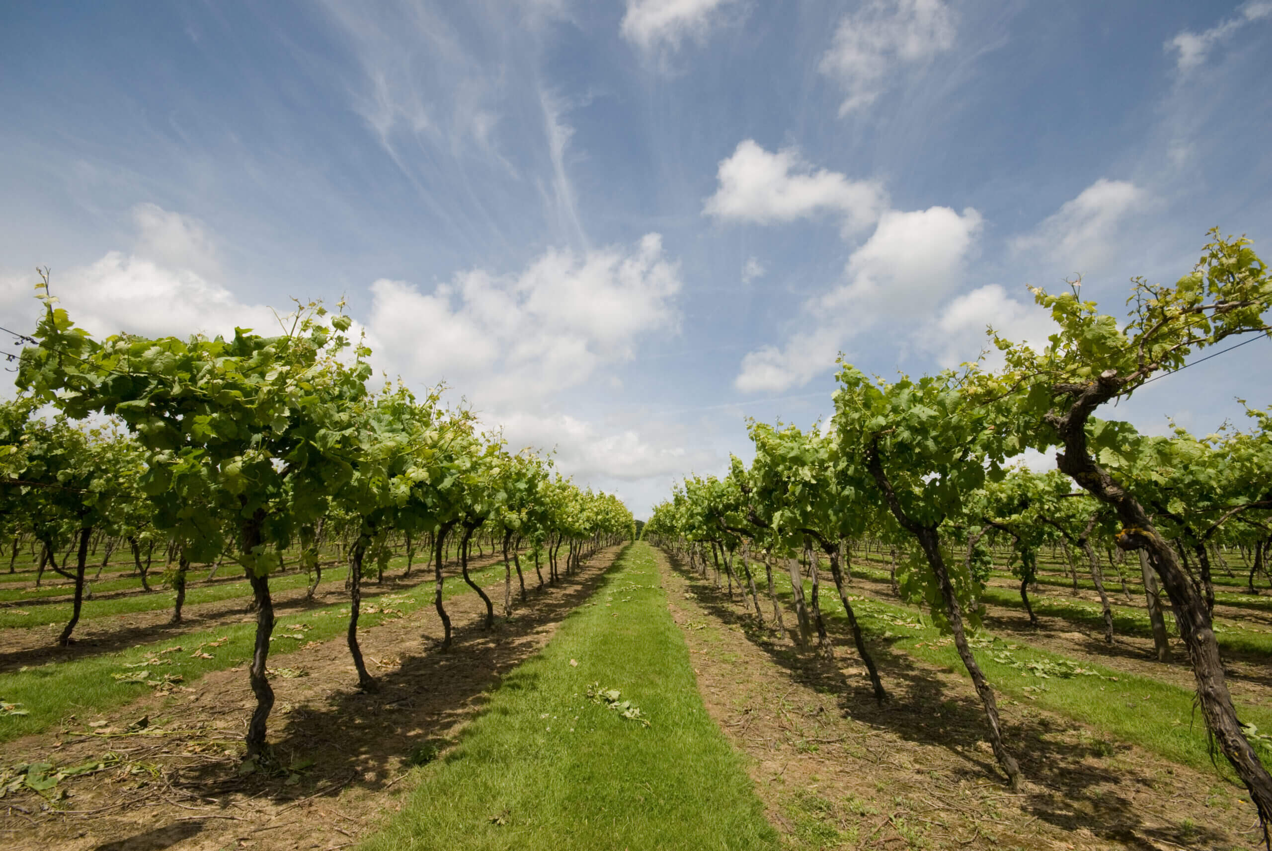 The vines at Biddenden