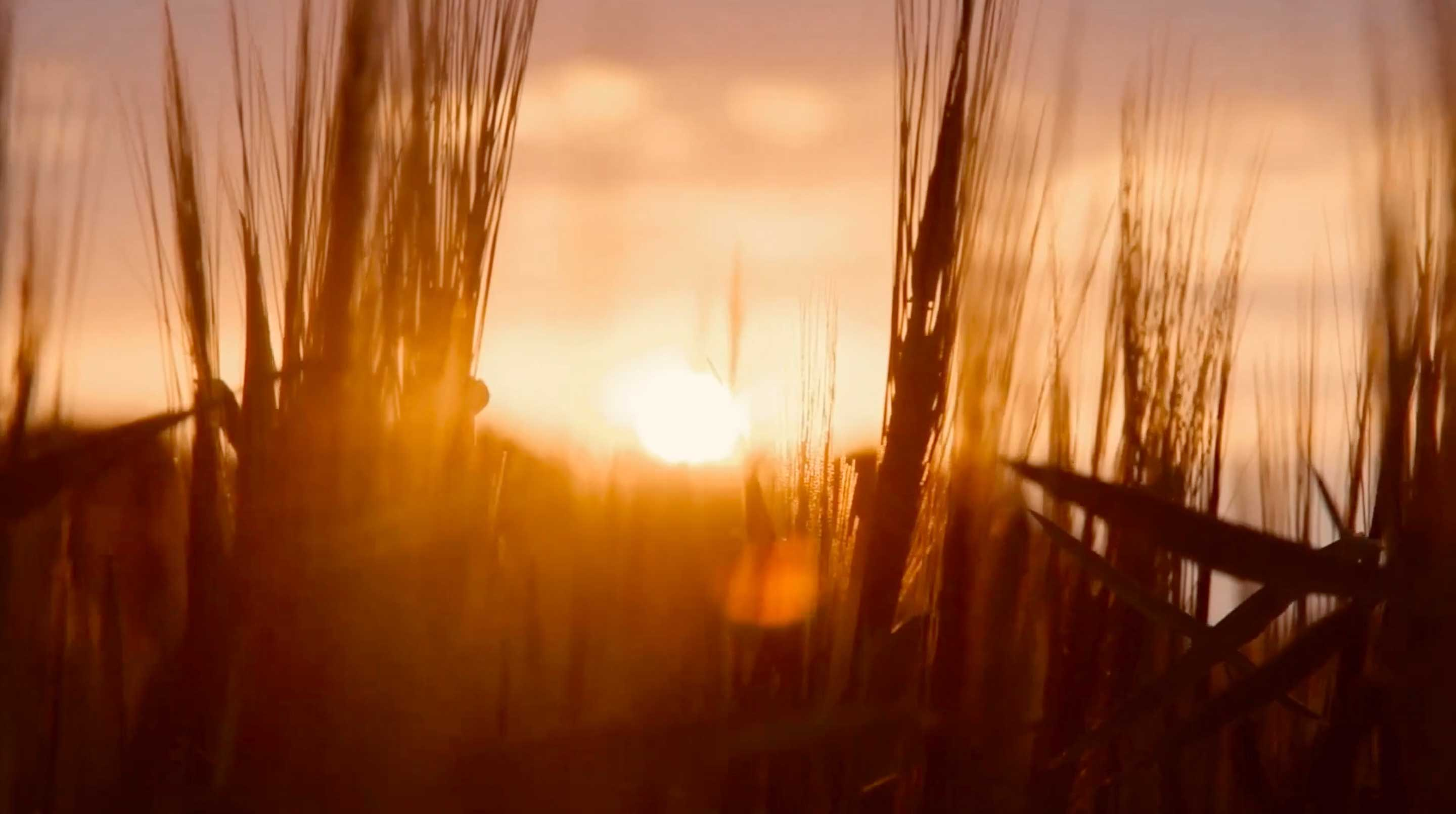 Crops in the sunset